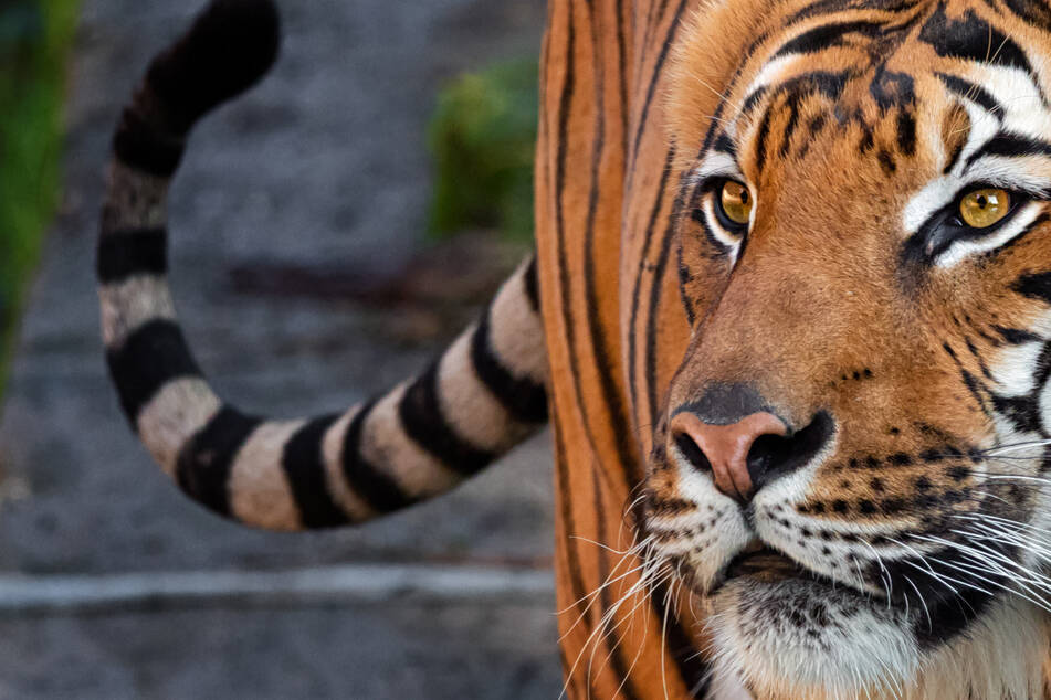 Woman has hand bitten off after trying to pet a tiger