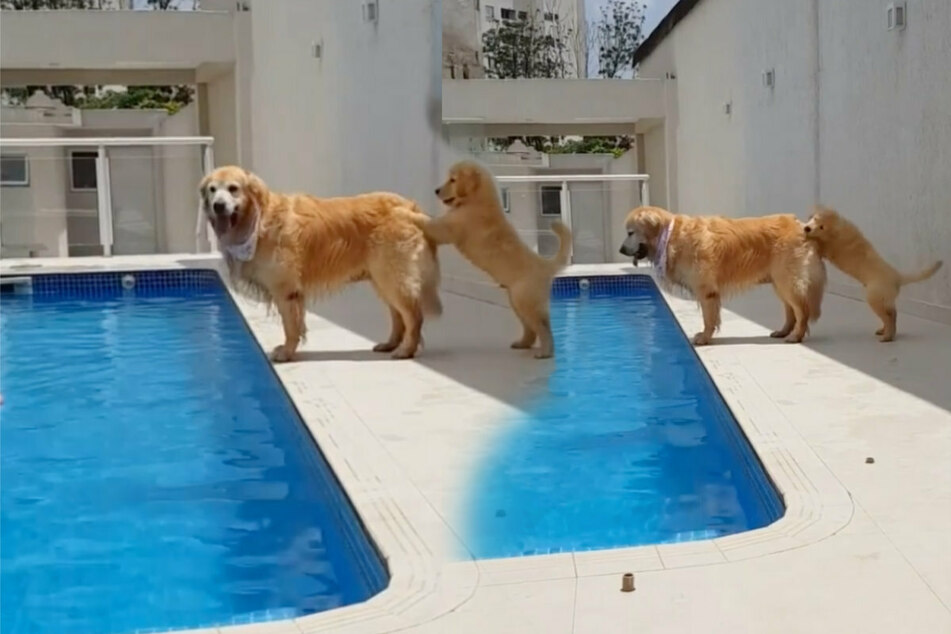 Frecher Hund will Golden Retriever in den Pool schubsen: So süß rächt er sich!