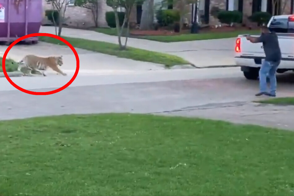Kuriose Szenen! Entflohener Tiger streift durch Nachbarschaft