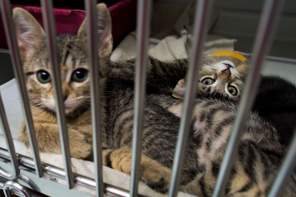 Zwei Katzen nach positivem Corona-Test in Quarantäne!