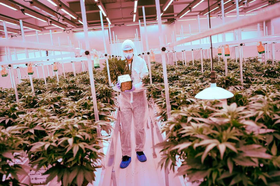 Der Chefanbauer aus den Niederlanden steht zwischen Cannabisplanzen der Sorte Churchill im Blühraum einer Produktionsanlage von Aphira für medizinisches Cannabis.