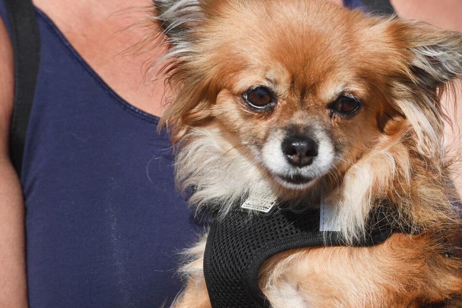 Hunde-Unfall in Dresden: Chihuahua wird überrollt - Auto fährt einfach weiter