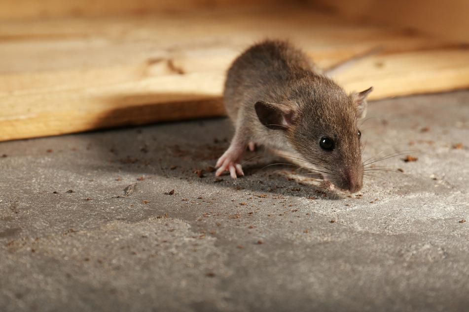 Mäuseplage in Australien: Frau wird von Nager in Augapfel gebissen
