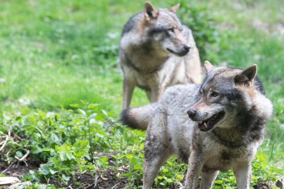 Wölfe brechen aus Gehege aus, totes Tier in Gehege gefunden