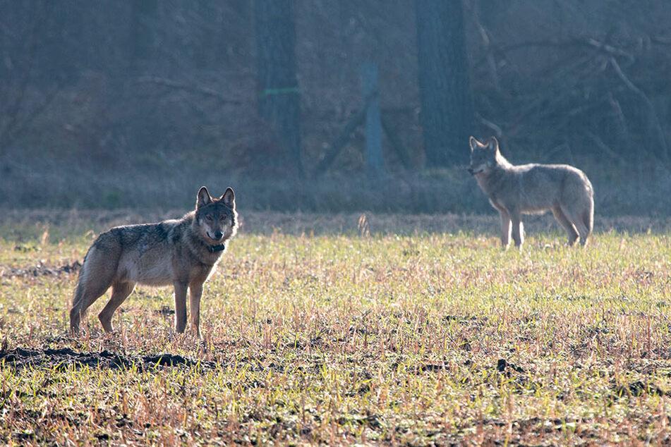"""Wölfe: Wölfe immer häufiger in NRW: Experten sprechen von """"dynamischer Entwicklung"""""""
