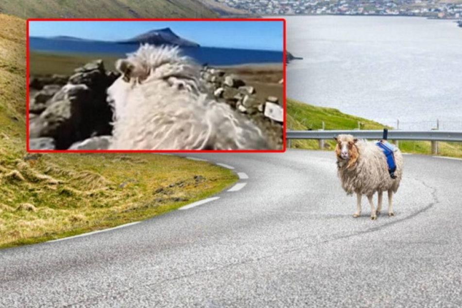 Sheep View: Schafe filmen für Google