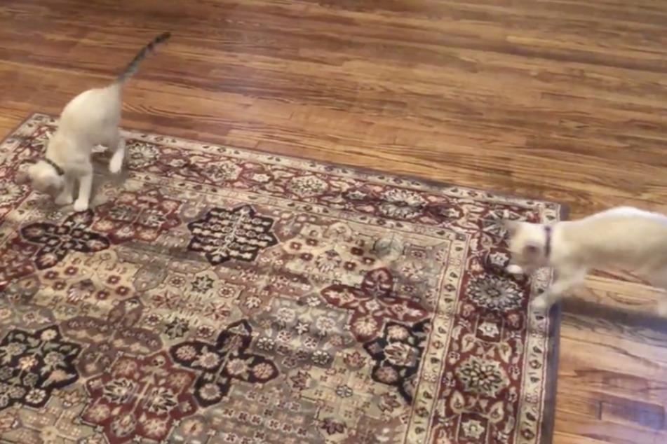 Nanu, was passiert denn hier? Die beiden Katzen sind völlig verblüfft, als sich der Teppich unter ihnen plötzlich bewegt.