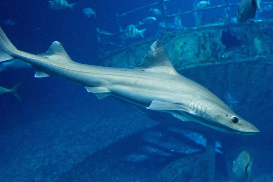 Glatthaie dürfen wieder Nachwuchs bekommen! Hier könnt Ihr sie bewundern