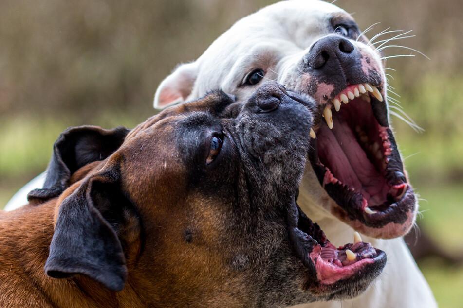 Die zwei Hunde drehten plötzlich durch. (Symbolbild)