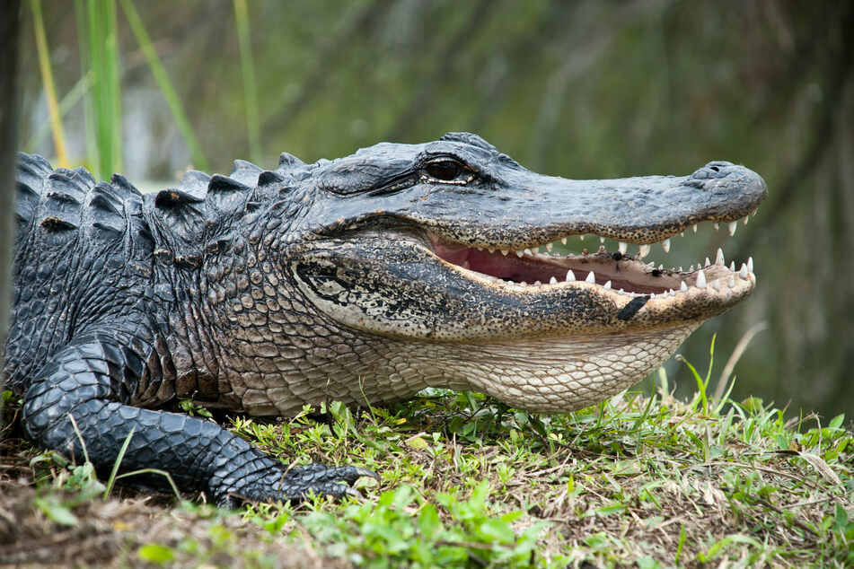 Florida man picks a fight with the wrong reptile and ends up in handcuffs