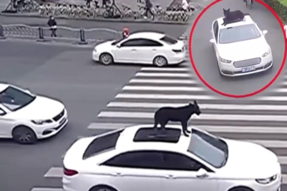 Hund fährt auf Auto-Dach mit: Die Begründung des Herrchens wirft Fragen auf!
