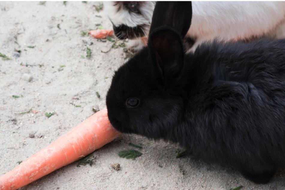 Mit Holzlatte erschlagen: Tierquäler tötet wieder Hasen