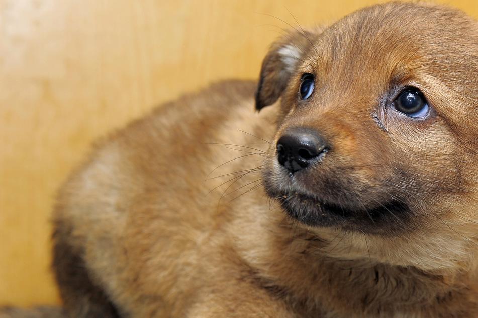 Die armen Kleinen! Hundewelpen bei Kontrolle in Kisten entdeckt