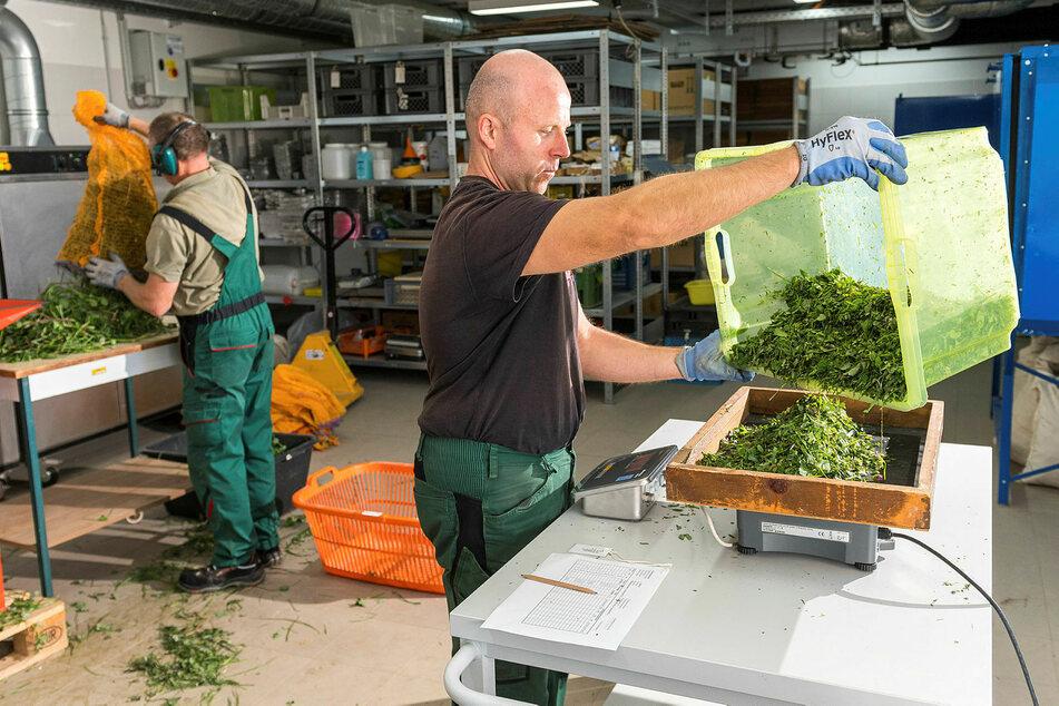 Auch Klee gehört zum Pommritzer Versuchsfeld. Versuchsfeldtechniker Marcus Graf (42) wiegt den Kleeschnitt, ehe er getrocknet und analysiert wird.
