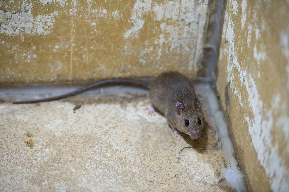 Bakterien aus dem Urin von Ratten hätten Jette Bach beinahe das Leben gekostet. (Symbolbild)