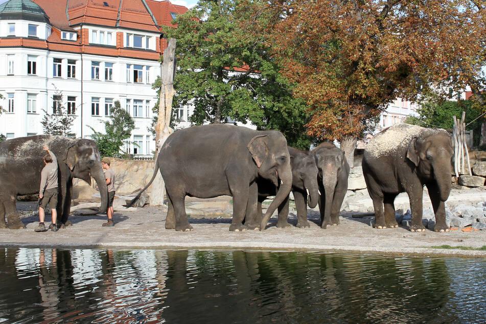 Die Berliner Elefanten Kewa, Thuza, Pantha, Edgar und Astra erkunden den Leipziger Zoo.