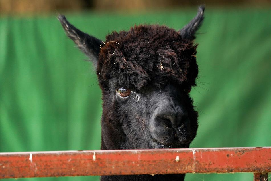 Nach wochenlangem Streit ist das Alpaka eingeschläfert worden, teilte das Landwirtschaftsministerium in London am Montag mit.