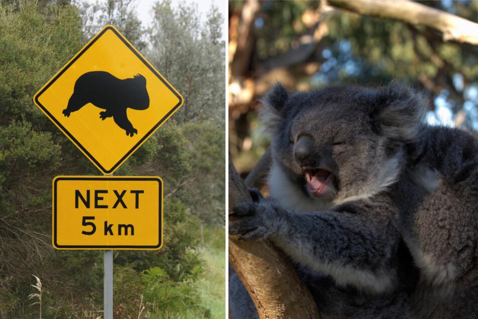 Koalas can sometimes cause havoc on Australian roads.