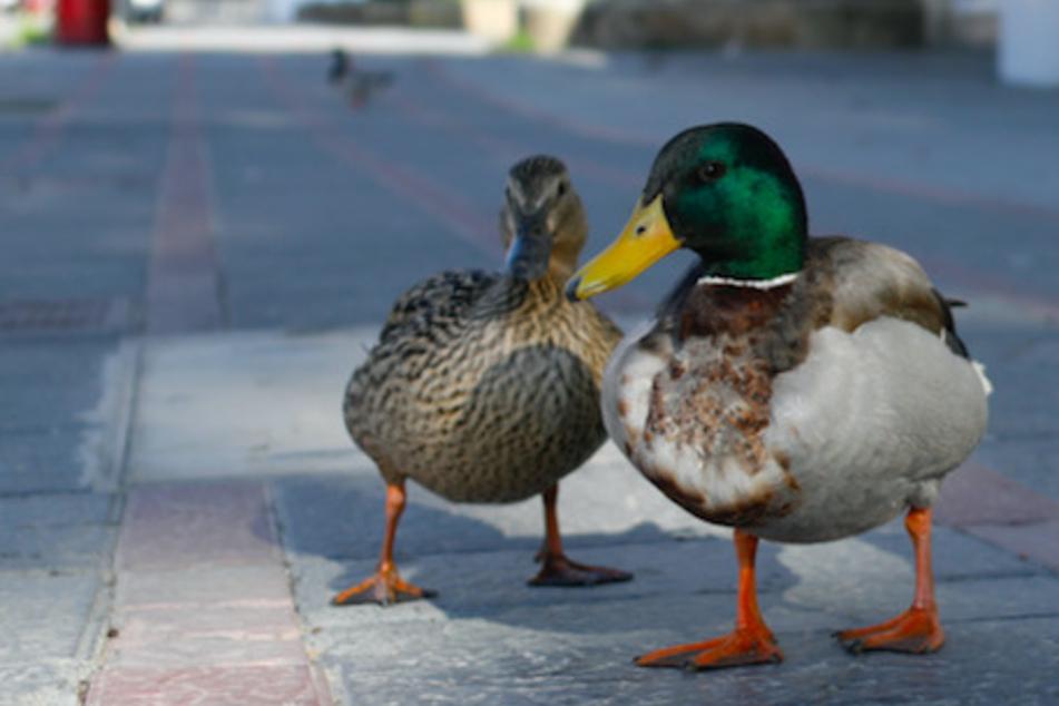 Zwei Enten wurden in Oberfranken offenbar absichtlich mit einem Auto überfahren. (Symbolbild)