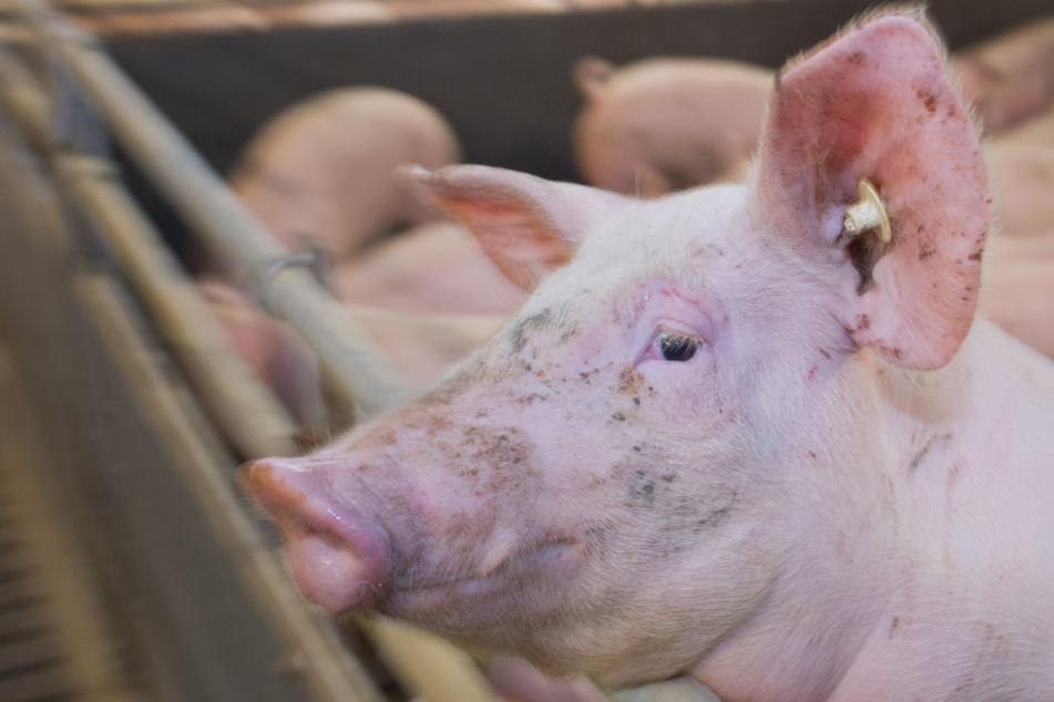 Die Schweine wachsen weiter, brauchen mehr Platz.