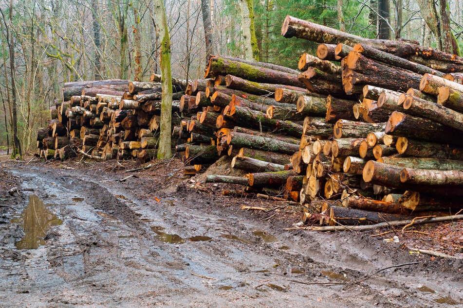 Die Forstbranche kritisiert bundesweit die hohen Exportmengen und geringen Einnahmen der Waldbauern. Darum müssten Sägewerke mehr Geld zahlen. (Symbolfoto)