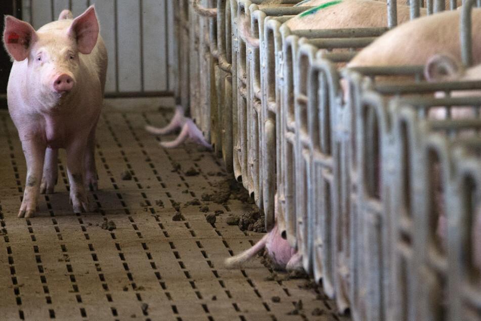 Vater entdeckt auf Hof von Sohn mehr als 1000 verhungerte Schweine