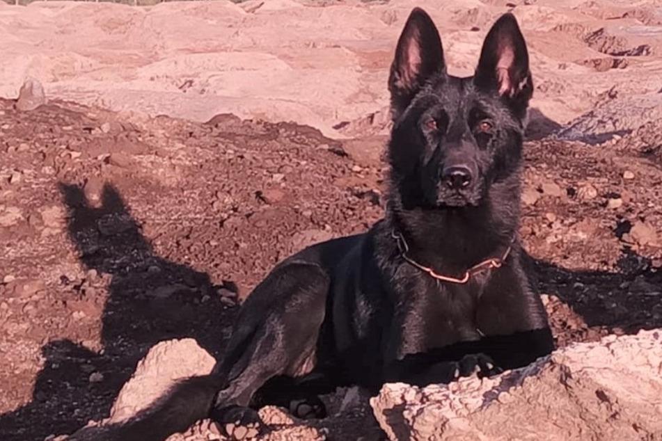 Polizeihund beweist richtigen Riecher: Smilla lässt sich nicht in die Irre führen