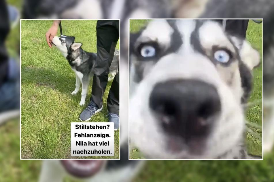 Husky-Dame Nila ist ein neugieriger, sehr aufgeweckter Hund.