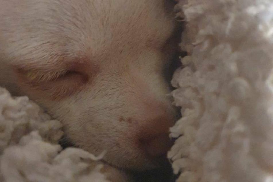 Das Frauchen von Milo bittet um Spenden, damit ihr Chihuahua endlich von seinem Leiden erlöst werden kann.