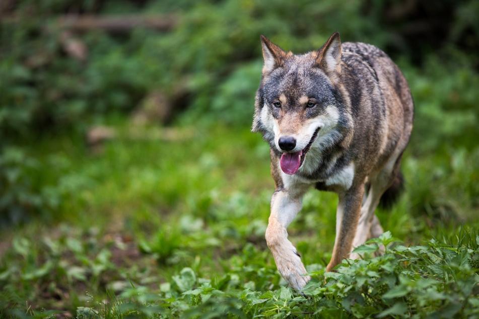 Wolf in der Gegend von Crimmitschau gesichtet