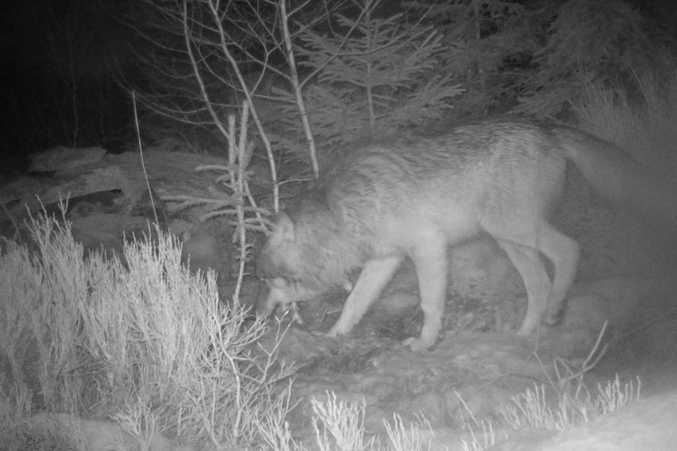 Die Aufnahme einer automatischen Fotofalle zeigt einen Wolf im Nationalpark Bayerischer Wald. Hier gibt es standorttreue Tiere.
