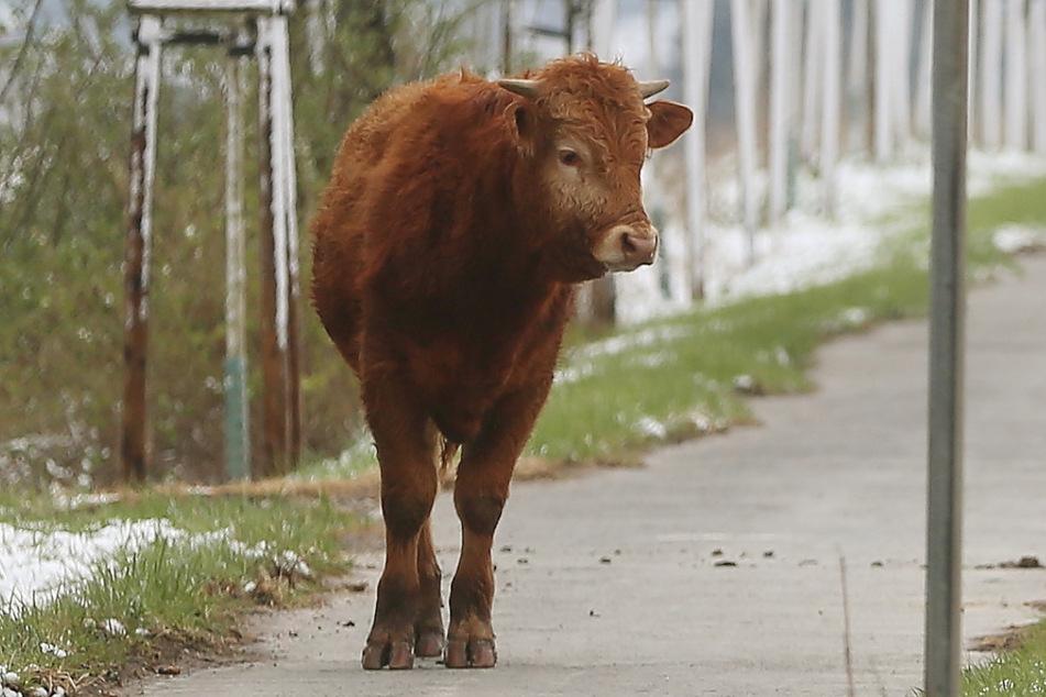 Ach du Schreck! Kuh läuft in Wohnsiedlung und verwüstet Terrasse