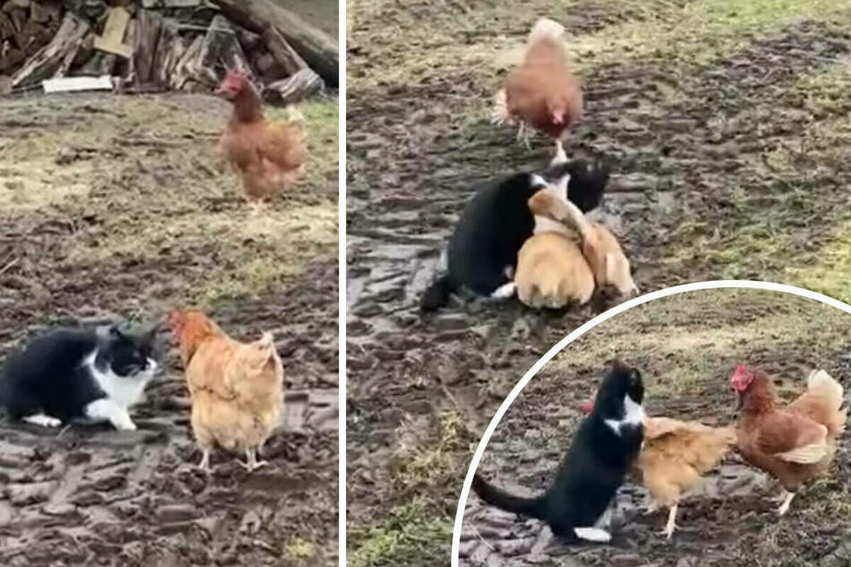 Chickens team up to show a frisky cat the true pecking order on the farm