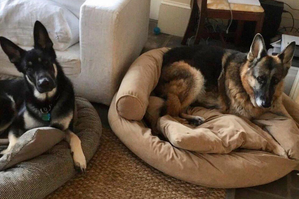 The two presidential dogs, Major (l) and Champ (r), have their own Twitter account.