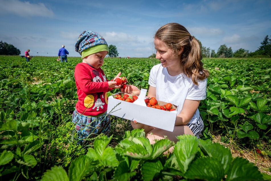 Tim (1) bestaunte die schönen roten Beeren, die seine Schwester Juliane (15) gepflückt hat.