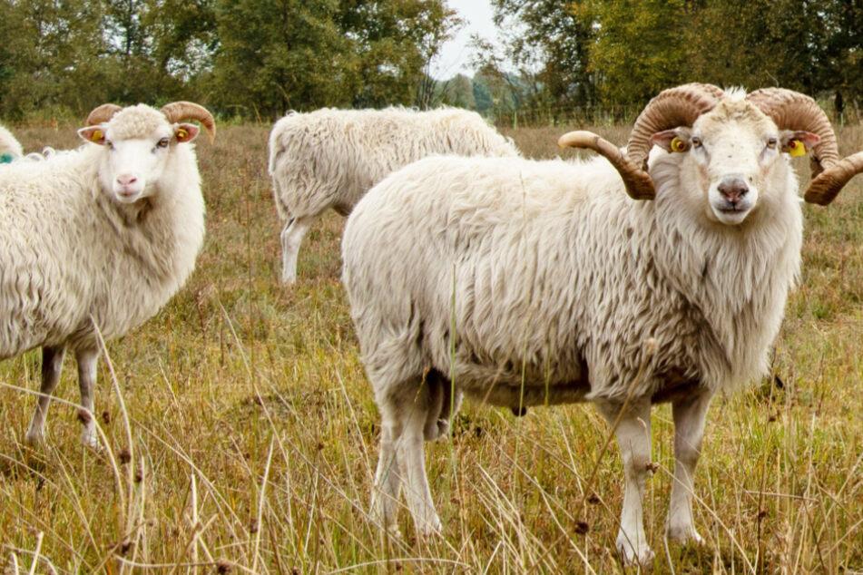 Diebe klauen Schaf, doch das ist giftig