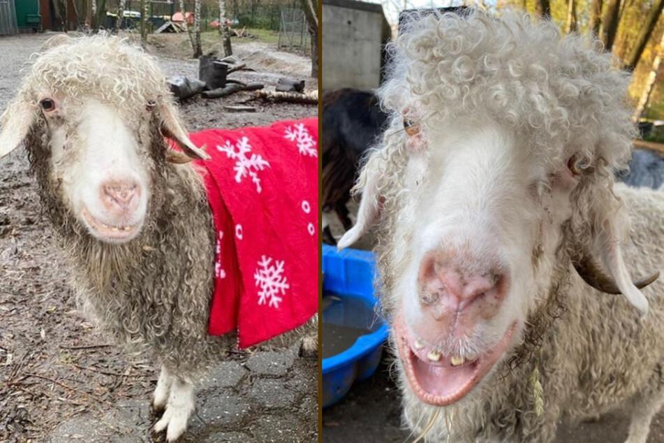 Die Mohair-Ziege fühlt sich im Tierheim Bergheim offenbar pudelwohl.