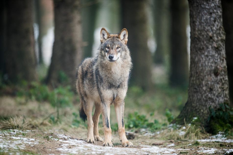 """Wölfe: Mitte Dezember: Wölfin """"Gloria"""" tötete Schaf in Dinslaken"""
