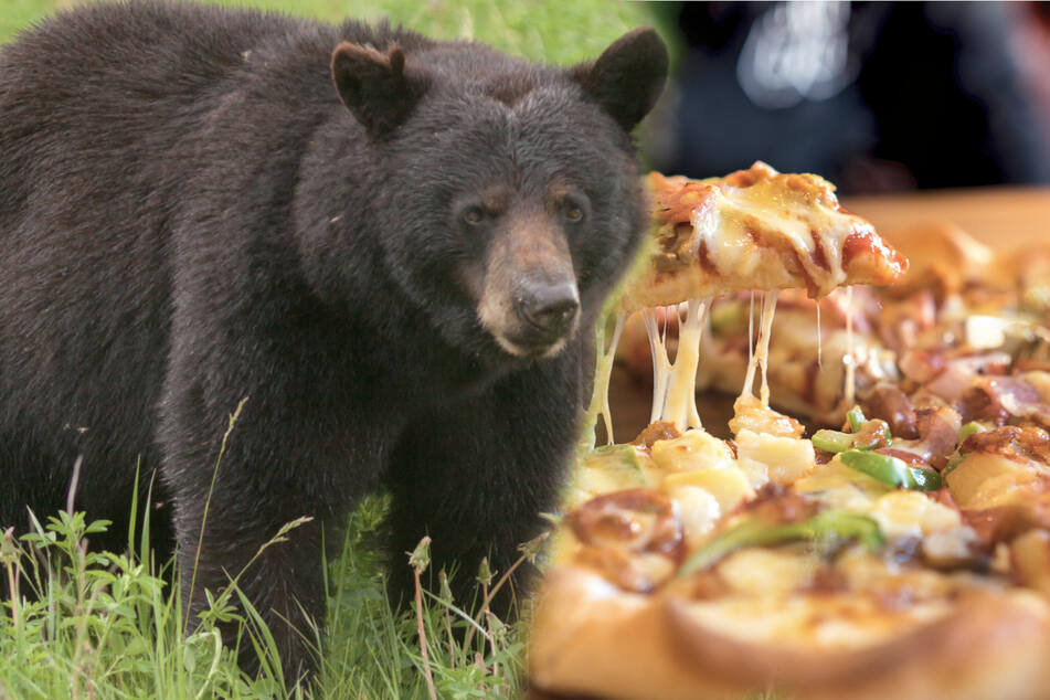 Bärenhunger! Schwarzbär bricht in Pizzataxi ein