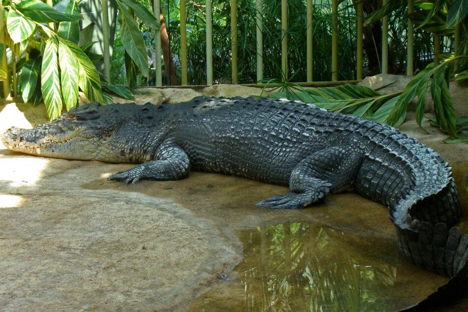 Legendär! Krokodil Max lebte fast 60 Jahre im Zoo.