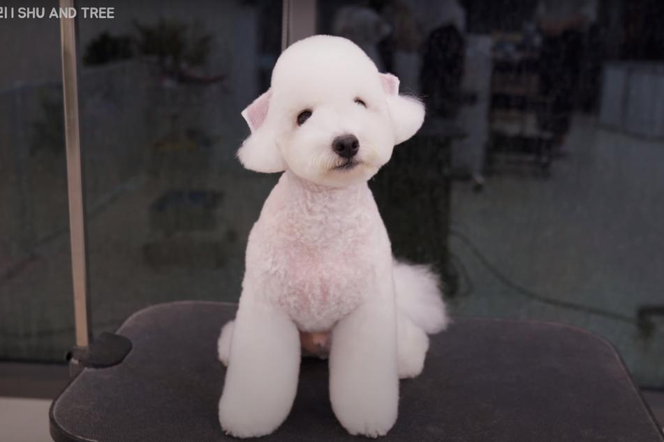 """Mit einem Mal ist der kleine Hund kaum wiederzuerkennen! Online nennen ihn viele Nutzer """"engelsgleich""""."""
