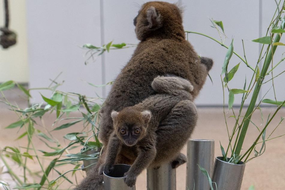 Der kleine Lemur wird noch viel von seiner Mutter am Bauch getragen.