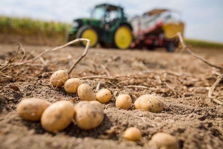 Nach einer ernüchternden Getreideernte in Nordrhein-Westfalen ist auch die späte Kartoffelernte unsicher.