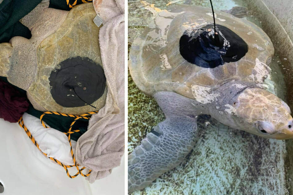 Lou was released with a transmitter in the wilderness and although he is missing two fins, his keepers believe he will survive in the wild.