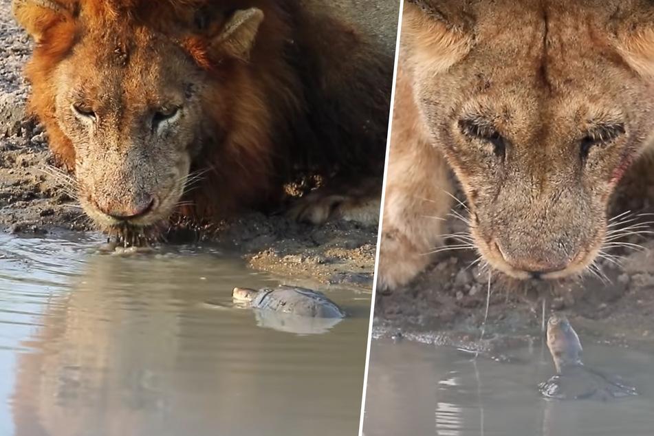 Mutige Schildkröte gibt alles, um riesige Löwen von ihrem Wasserloch zu verscheuchen