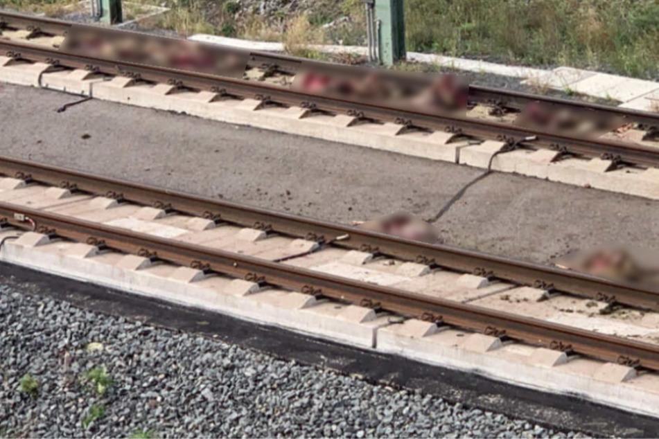 ICE erfasst Schafherde! Mehrere Tiere liegen tot neben den Schienen