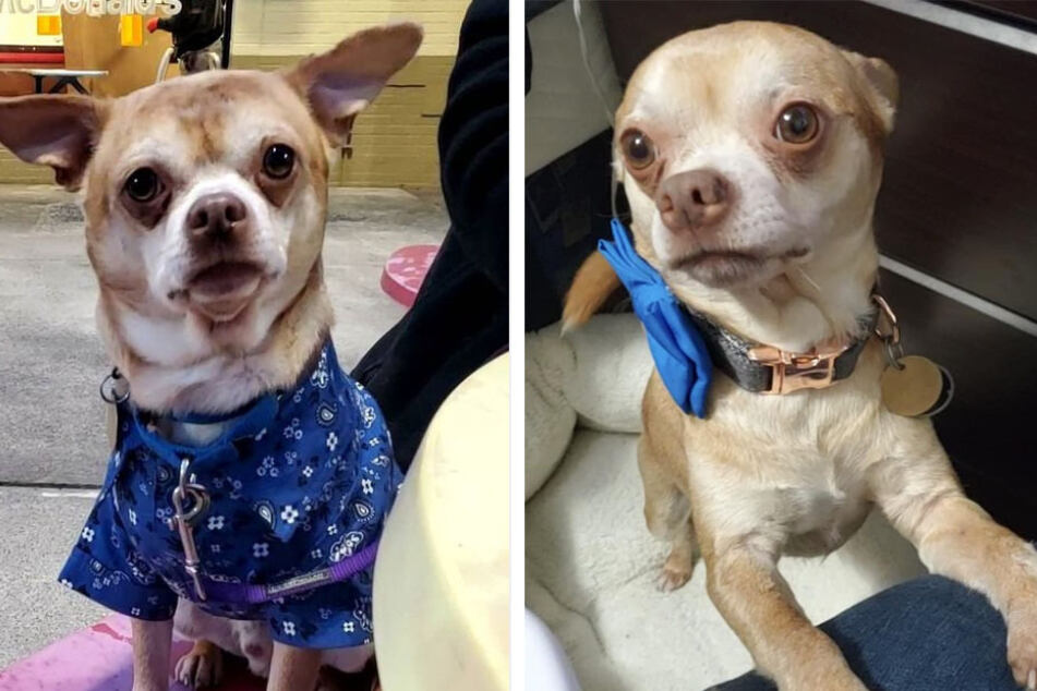 """""""Demonic"""" chihuahua finds his fur-ever home after his brutally honest viral adoption post"""