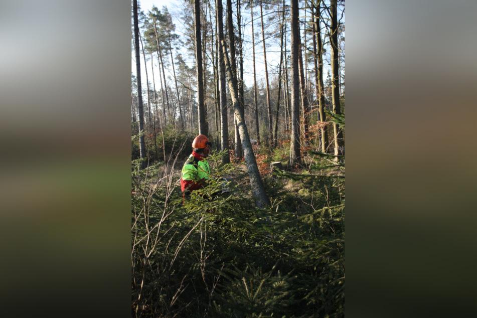 Forstarbeiter fällen derzeit Schad-Bäume im Akkord.
