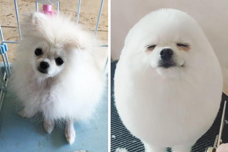 """Hund """"Pom"""" vor dem Friseur-Besuch und danach."""
