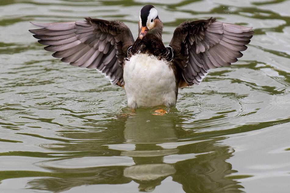 Im Amerika Tierpark in Limbach-Oberfrohna wurde bei einer toten Ende die Vogelgrippe nachgewiesen (Symbolbild).